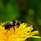 Bee taking a Pollen bath in a Dandelion by buttonpresser