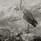 Bird Watching, Common Heron by itchingink
