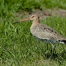 Female Godwit by Robert Abraham