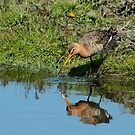 Male Godwit & Reflection by Robert Abraham