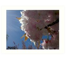 Sunlight Cherry Blossoms Art Print