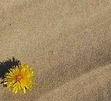 Dandelion on Sand by Eden Stanger
