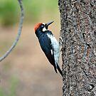 Woodpecker  by Cody  VanDyke