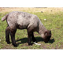 Spring Lamb I Photographic Print