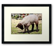 Spring Lamb II Framed Print