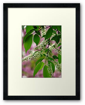 Wild Cherry Tree Blossoms by NatureGreeting Cards ©ccwri