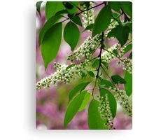 Wild Cherry Tree Blossoms Canvas Print