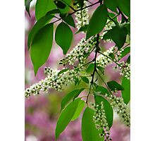 Wild Cherry Tree Blossoms Photographic Print