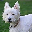 West Highland Terrier  by Cody  VanDyke