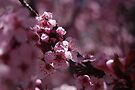 So Softly Pink – Ornamental  Flowering Plum by Vicki Pelham