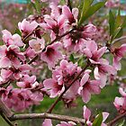 Bright Pink Peach Blossoms by vvfineartphotog