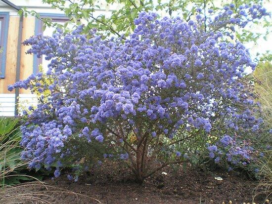 Blue flowering shrub by auntiebarbie redbubble for Blue flowering bush