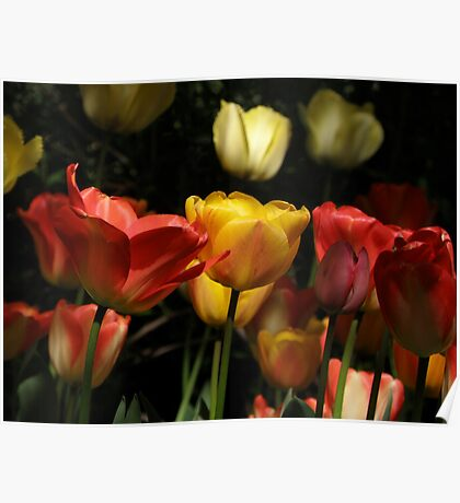 Alluring Tulips Poster