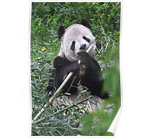 Giant Panda-Ailuropoda melanoleuca Poster