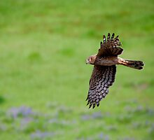 Northern Harrier Fly by ( best Viewed large) by DawsonImages