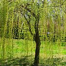 Spring - Weeping Willow in the sunlight by Ruth Lambert