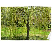 Spring - Weeping Willow in the sunlight Poster