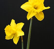 Daffodils Quotation by jwwallace