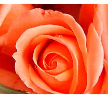 One perfect rose Photographic Print