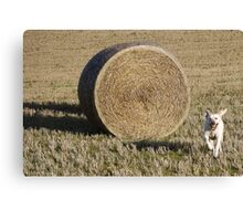 Harvey and a hay bale - the joy of Labradors Canvas Print