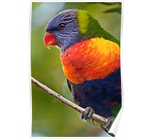 Rainbow Lorikeet - Tweed Heads Poster