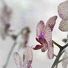 Purple Orchid by OldBirch