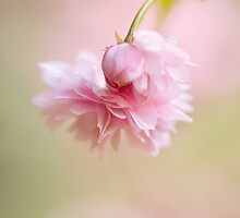 Cheal's Weeping by Jacky Parker