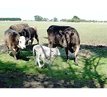 Friends come to say Moo to Casper Photographic Print