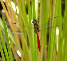 Dragonfly on a Japanese Iris in my pond,Tumut, Australia. by kaysharp