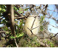 Eggs of spider Photographic Print