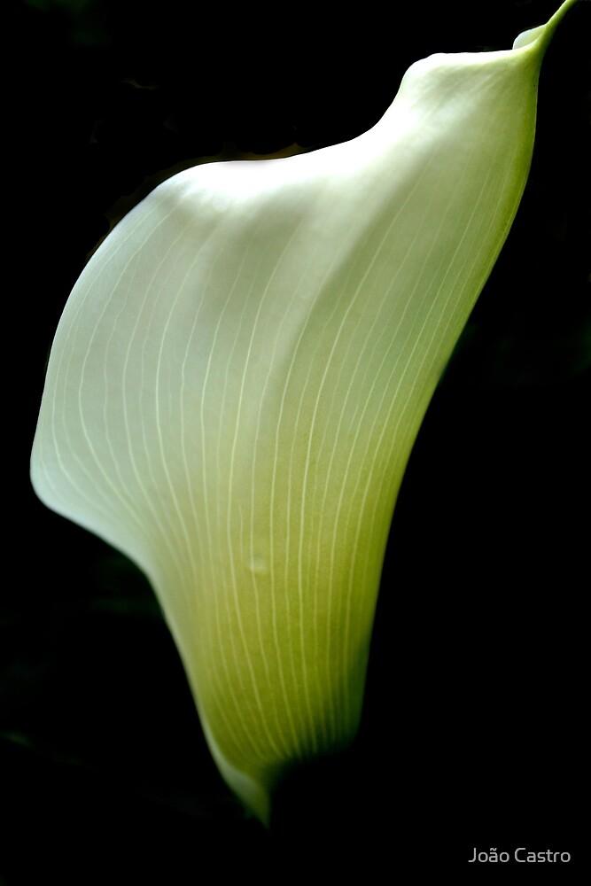 White flower 6584 by João Castro