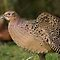 Female Pheasant Strethching her wing. by Carole Stevens