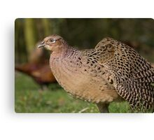 Female Pheasant Strethching her wing. Canvas Print