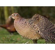 Female Pheasant Strethching her wing. Photographic Print