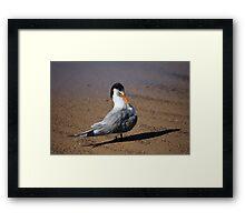 Crested Tern Framed Print