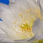 Unnamed white Trichocereus by Linda Sparks