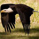 Bald Eagle - powerful down-stroke by Joy Leong-Danen