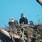 Bald Eagle Family by Eaglelady