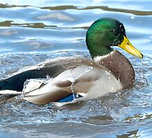 mallard: a little Spring cleaning by Grandalf