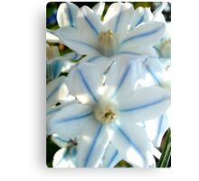Puschkinia scilloides related to the Hyacinth Canvas Print
