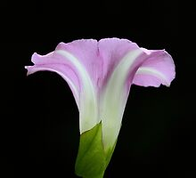 Simplicity of a Morning Glory by arcadian7