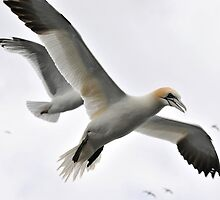 gannet longing for the taste of a fish by Grandalf