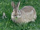 Cottontail Rabbit Out to Lunch by Barberelli