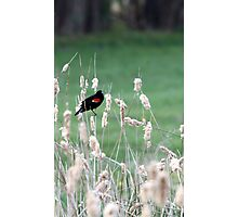 Red-winged Blackbird on cattails Photographic Print