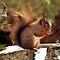 Species Specific - Red or Eurasian Red Squirrel (Sciurus vulgaris)