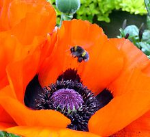 Poppy Bee by JRCharlton