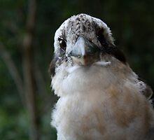 Kookaburra, Close-Up by Sean Foreman