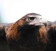 Hawk Eagle by Sean Foreman