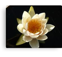 first water lily of the season Canvas Print