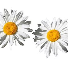 Two pure white daisy flowers. flower photo art. by naturematters
